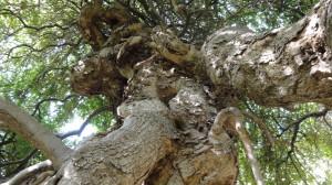 Baum1 Volterra